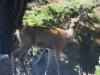 IMG_1448 deer munching flowers